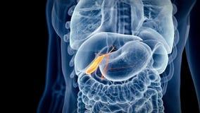 Ludzki gallbladder