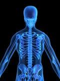 ludzki kośćcowy back Zdjęcie Royalty Free