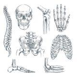 Ludzki kościec, kości i złącza, Wektorowego nakreślenia odosobniona ilustracja Ręka rysujący doodle anatomii symbole ustawiający ilustracja wektor