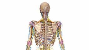 Ludzki kościec z wiązadłami, naczyniami krwionośnymi i nerwami, royalty ilustracja