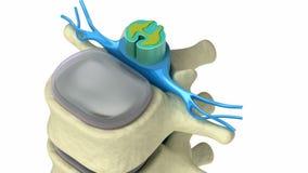 Ludzki kręgosłup w szczegółach: Kręgosłup, szpik kostny, dysk i nerwy,