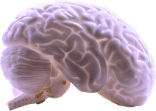 Ludzki Mózg obraz stock