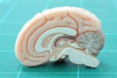 Ludzki mózg Zdjęcia Royalty Free