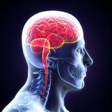 Ludzki Mózg anatomia Zdjęcia Royalty Free