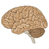 Ludzki Mózg Brown Ilustracja Wektor