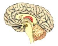 Ludzki mózg przeglądać przez linii nacięcia pokazuje białą sprawę korpusu językowego callosum royalty ilustracja