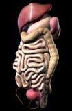 Ludzki męski trawienny system i wewnętrzni organy Zdjęcia Royalty Free