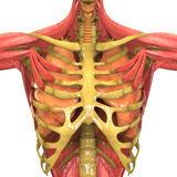 Ludzki mięśnia ciało z Oddechowym systemem Obrazy Stock