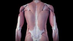 Ludzki mięśnia system