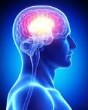 Ludzki mózg Obrazy Royalty Free