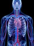 Ludzki naczyniasty system Fotografia Royalty Free