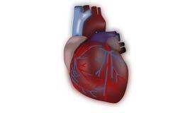 Ludzki serce Obraz Stock