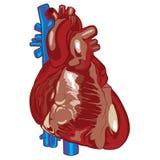 Ludzki serce 01 Ilustracja Wektor