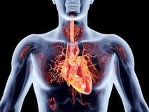Wewnętrzni organy - serce Zdjęcie Royalty Free