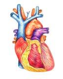 Ludzki serce przeglądać od przodu ilustracji
