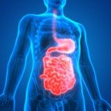 Ludzki Trawiennego systemu anatomii żołądek z Małym jelitem Zdjęcie Royalty Free