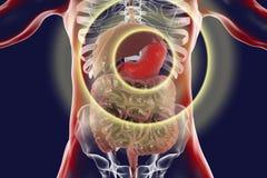 Ludzki trawienny system z podkreślającym żołądkiem ilustracji