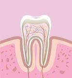 ludzki ząb Fotografia Royalty Free