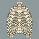 Ludzki ziobro klatki anatomii wektor Royalty Ilustracja