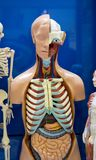 Ludzkich organów atrapa Obrazy Royalty Free