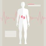 ludzkie nerki Obraz Stock