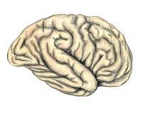Ludzkiego mózg boczny widok ilustracja wektor