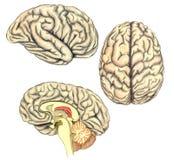 Ludzkiego mózg boczny widok, widok od above i przeglądać przez linii nacięcia howing białą sprawę korpusu językowego callosum royalty ilustracja