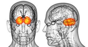 ludzkiego mózg cerebrum ilustracja wektor