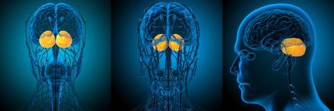 ludzkiego mózg cerebrum ilustracji