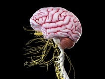 Ludzkiego mózg i głowy nerwy royalty ilustracja