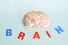 Ludzkiego mózg model zdjęcia stock