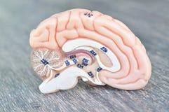 Ludzkiego mózg model fotografia stock