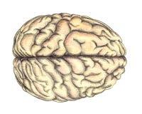 Ludzkiego mózg widok od above royalty ilustracja