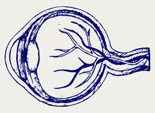 Ludzkiego oka anatomia Obrazy Stock