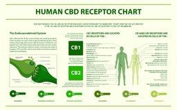 Ludzkiej CBD receptoru mapy horyzontalny infographic ilustracja wektor