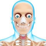 Ludzkiej głowy kościec Obrazy Royalty Free