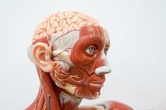 Ludzkiej głowy anatomii model Zdjęcia Stock