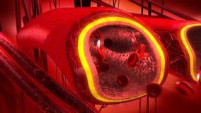 Ludzkiej krwi żyły i arterie ilustracja wektor