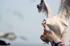 Ludzkiej ` s ręki żywieniowi seagulls na nadmorski Zdjęcia Royalty Free