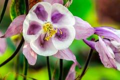 Lueur rose de Columbine Image stock