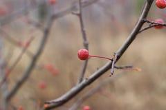 Lueur rose sauvage de baies images stock