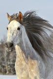 Läufergaloppwinter des weißen Pferds Stockbild