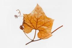 Luffa aegyptiaca stem specimen Stock Photos