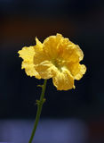 Luffa flower Stock Photo