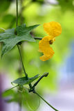 Luffa flower Stock Photo