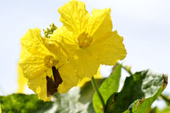 Luffa flower and butterfly Stock Photography