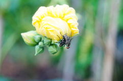Luffa flowers and flies Royalty Free Stock Photography