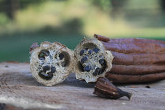 Luffa gourd, harvested and cut to show texture. Royalty Free Stock Photography