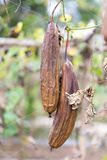 Luffa gourd plant in garden, luffa cylindrica. Stock Images