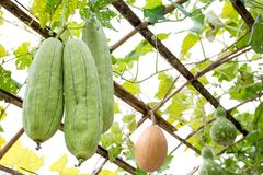 Luffa gourd plant hanging on the bamboo arbor background. Luffa gourd plant hanging on the bamboo arbor cultivation Royalty Free Stock Photo
